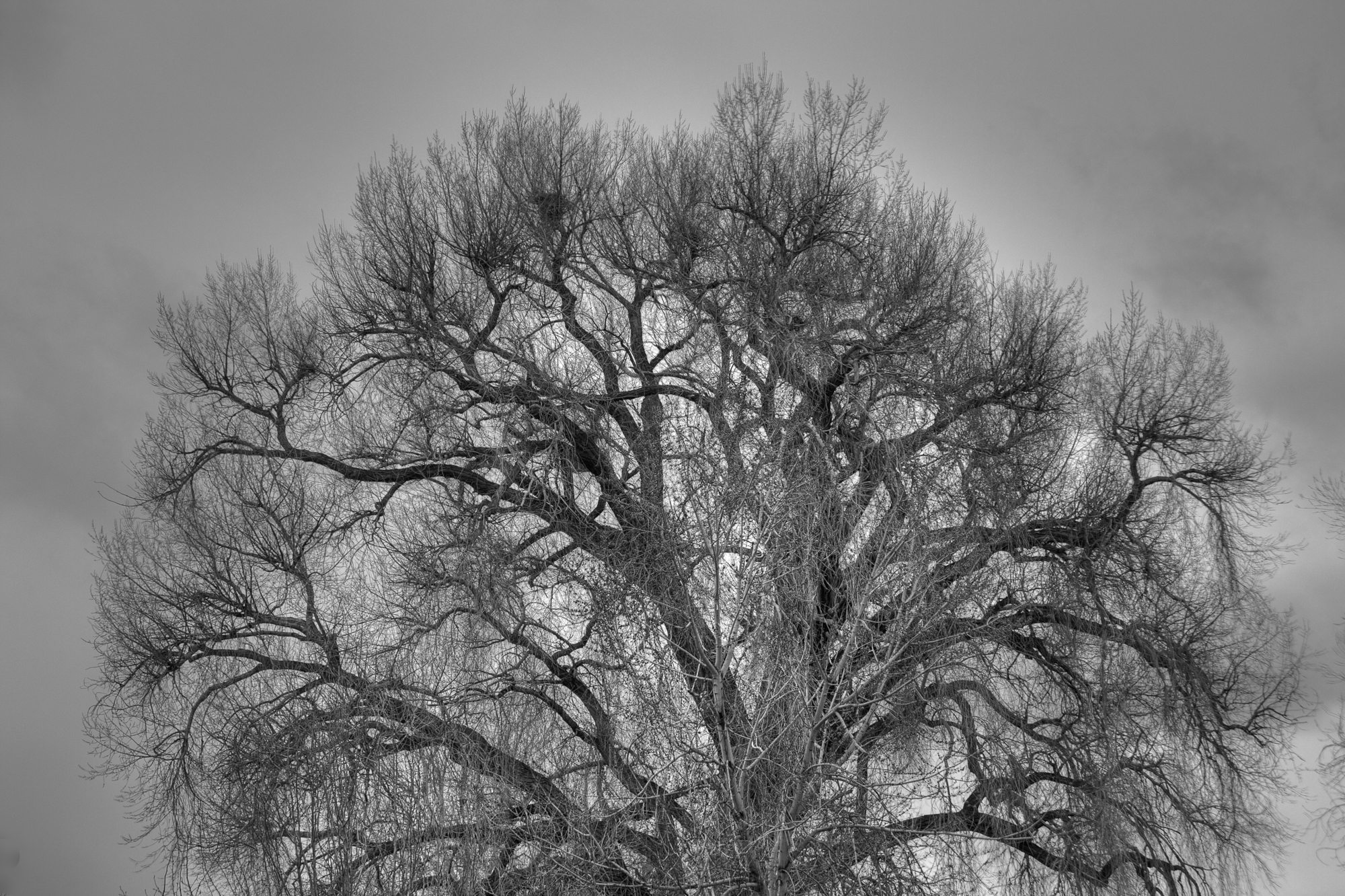 GhostlyCottonwood