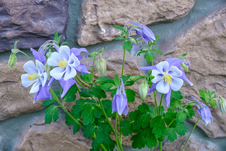 Colorado Columbine (Aquilegia coerulea)