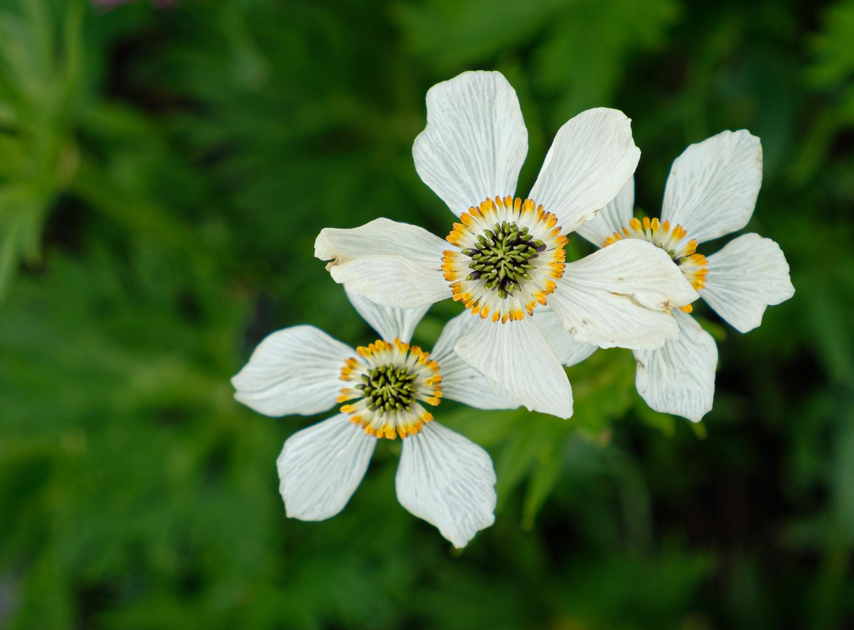 Globeflowers