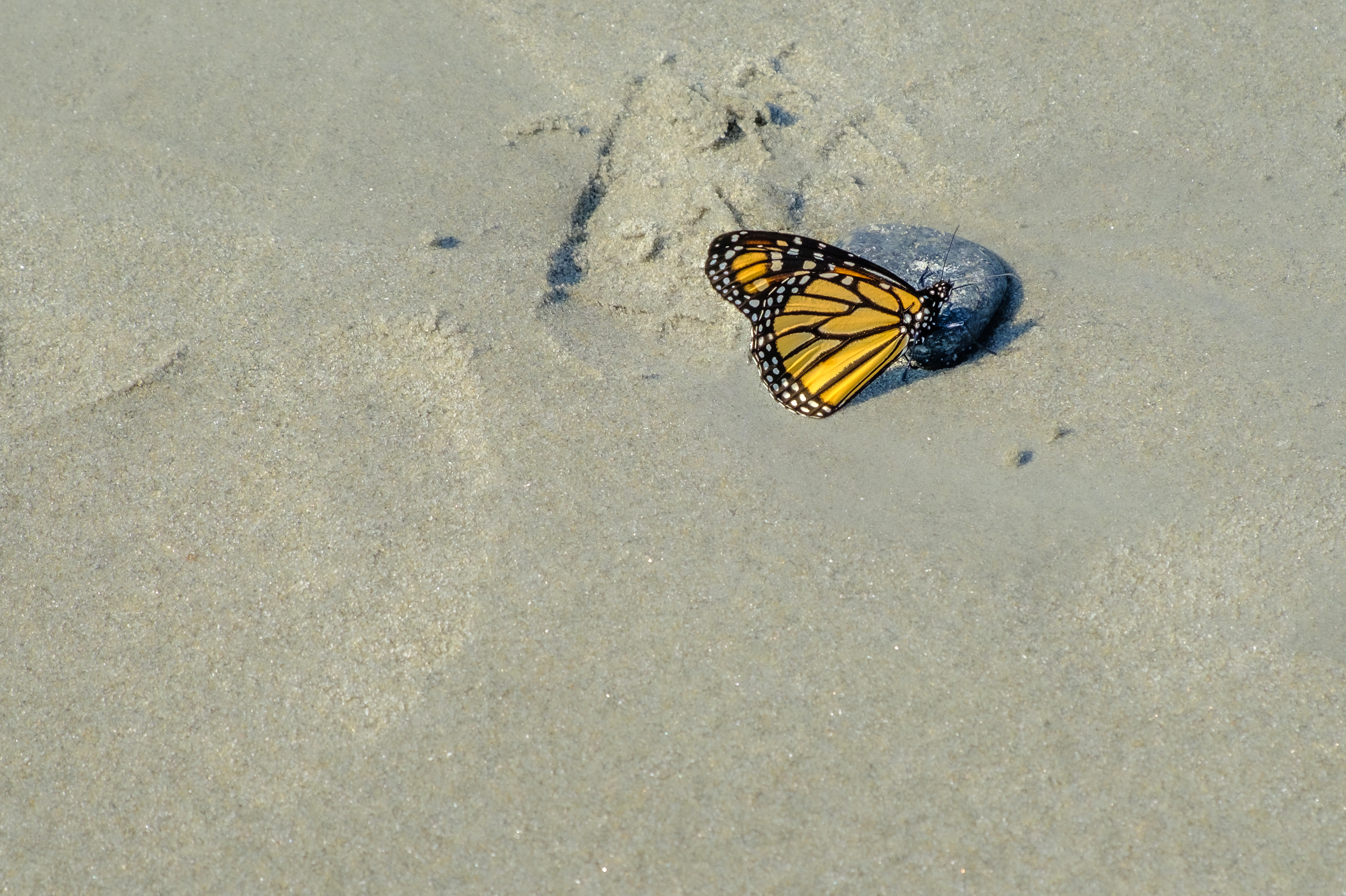 Monarch on the Sand